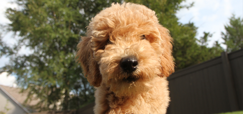 Meet Penny the Goldendoodle